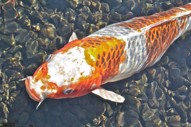 E makes art orange post koi carp for Carpe koi orange