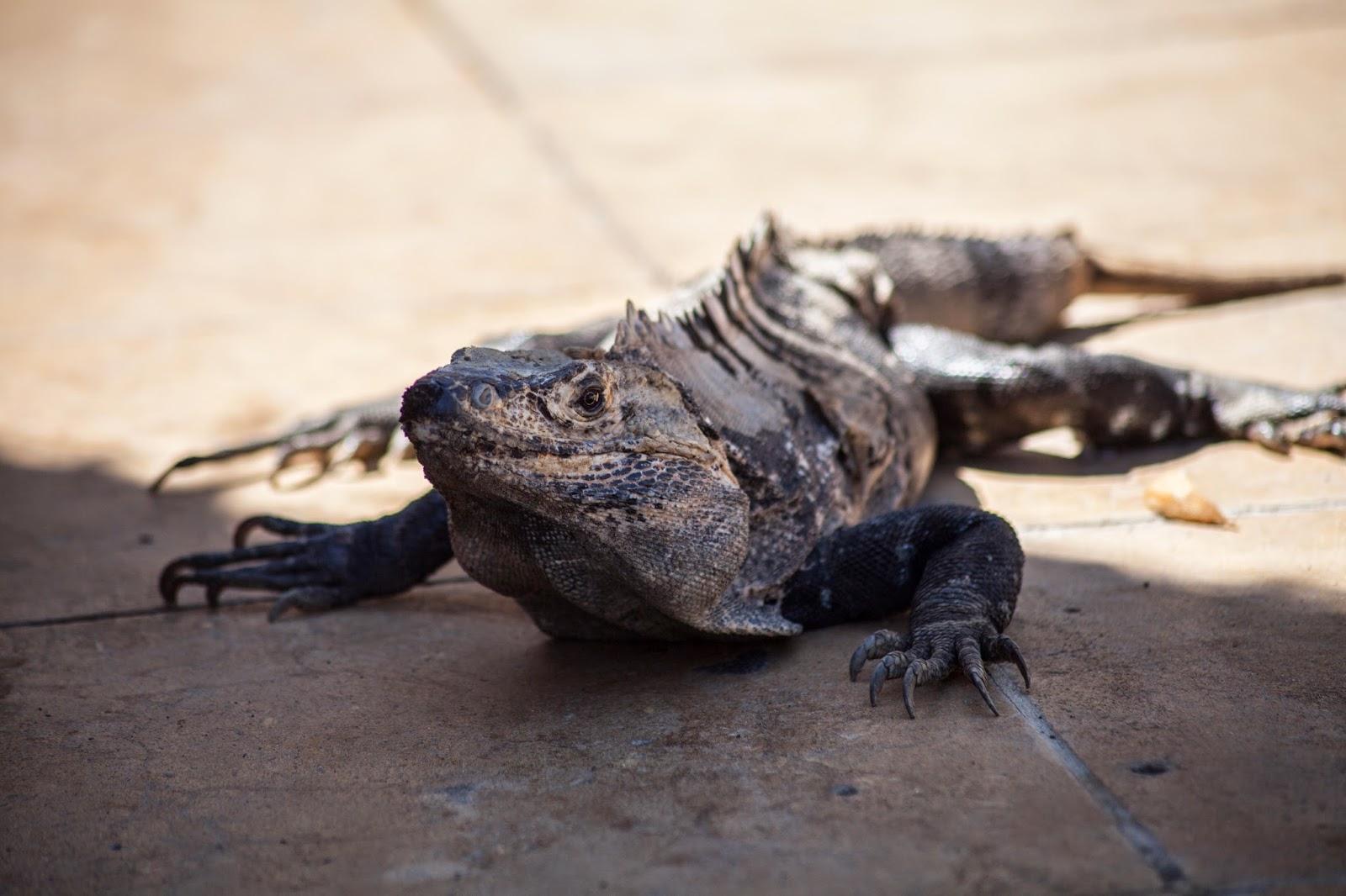Costa Rica Iguana Lizard