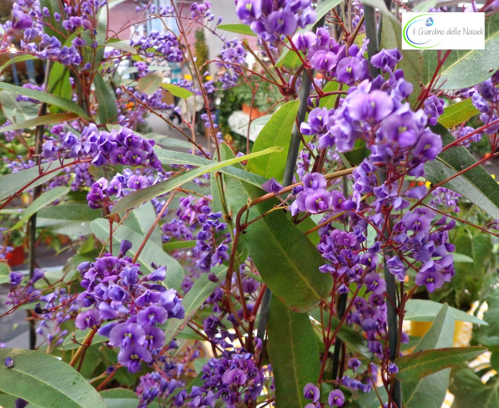 Il giardino delle naiadi handerbergia violacea for Pianta rampicante con fiori viola a grappolo