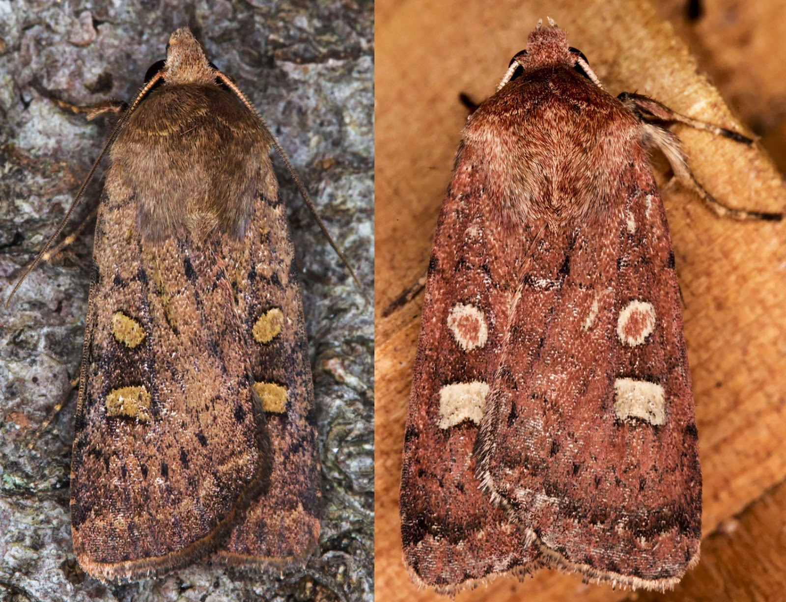 Square-spot Rustic, Xestia xanthographa.  Noctuidae.   Hayes, August 2014.