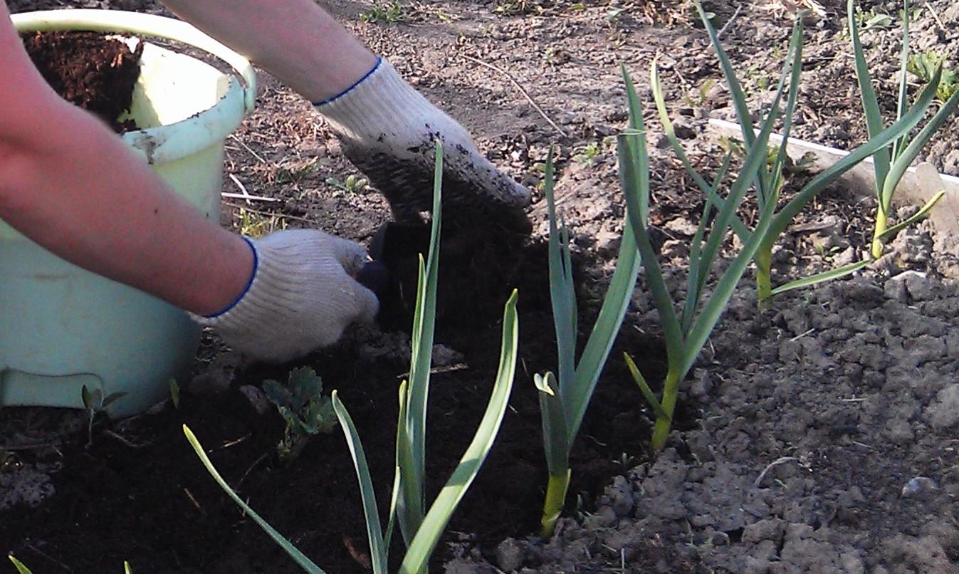 Яровой чеснок: когда сажать и как выращивать. Чеснок 56