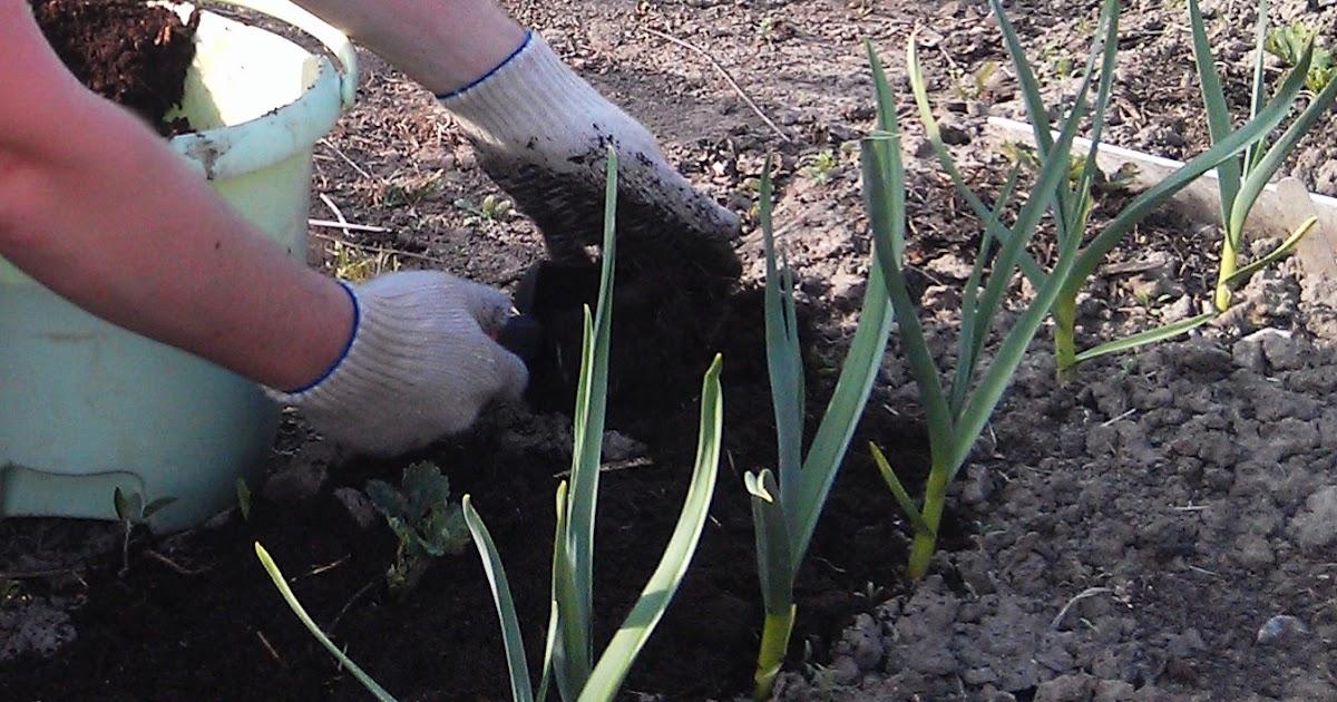 Сажать чеснок весной 42