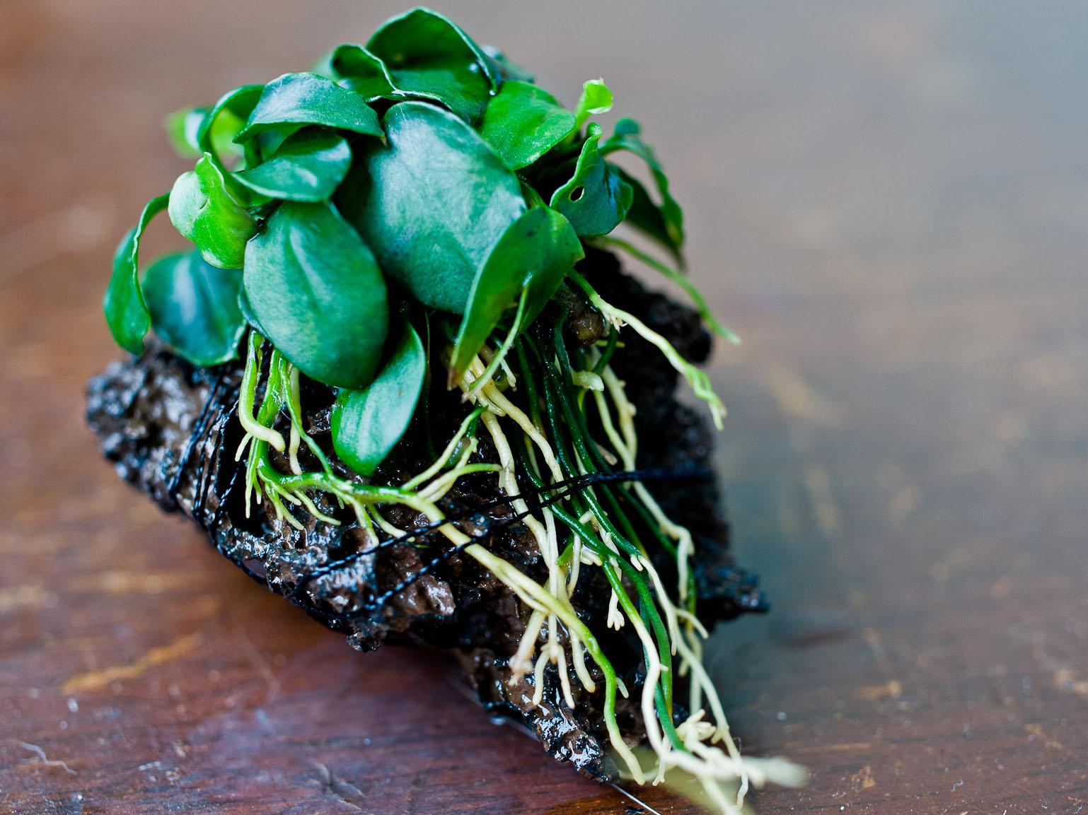 new aquarium plants anubias barteri var nana petite aquascape