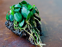 New Tropical Freshwater Aquarium Plants Anubias Barteri var. Nana Petite