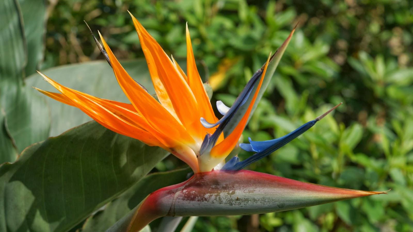 Beautiful wallpapers for desktop bird of paradise wallpapers hd - Hd images of birds of paradise ...