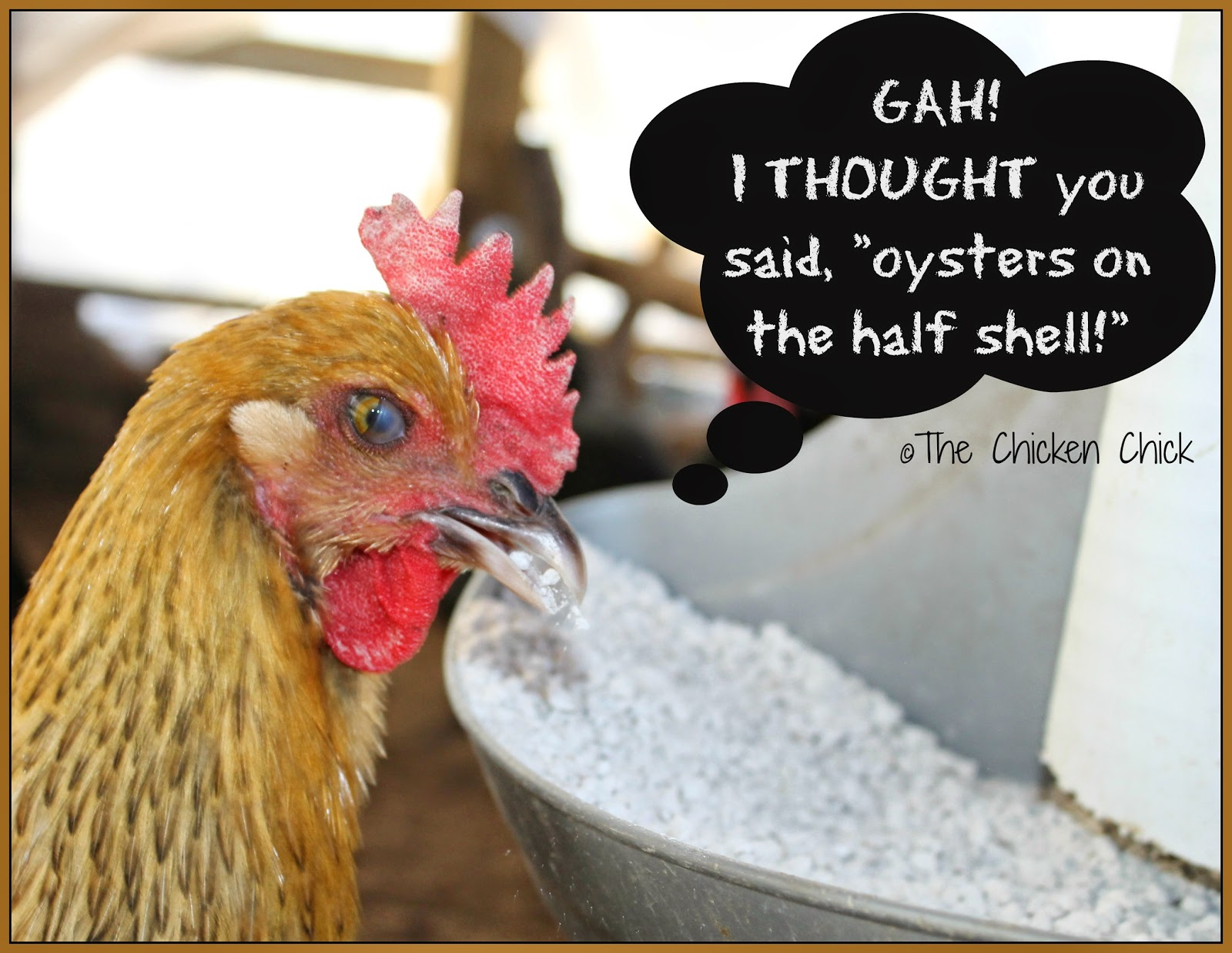 While layer feed contains some calcium, an additional source of calcium such as crushed oyster shells should be made available to laying hens in a separate dish, apart from the feed.