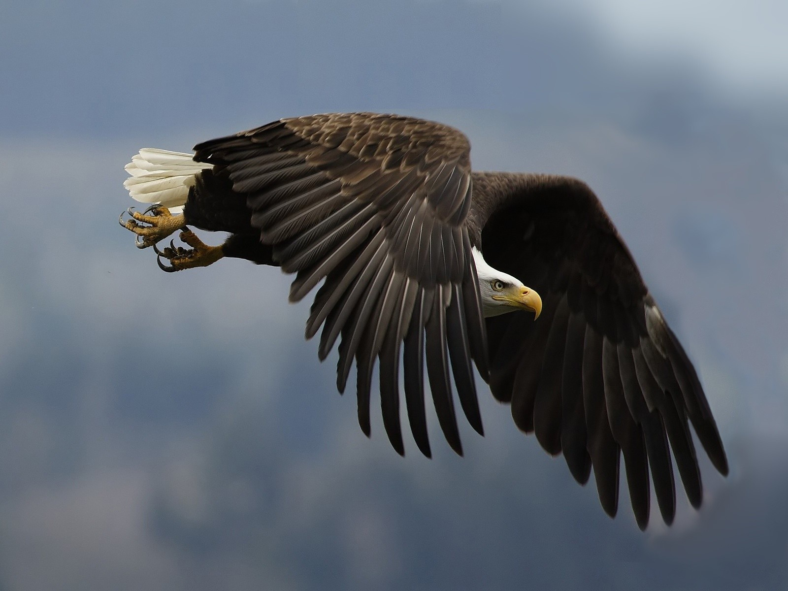 Must see   Wallpaper Horse Eagle - Eagle+Hawk+wallpapers  Photograph_18522.jpg