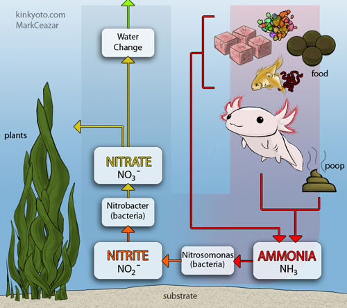 Ammonia poisoning and nitrite poisoning for Nitrogen cycle fish tank