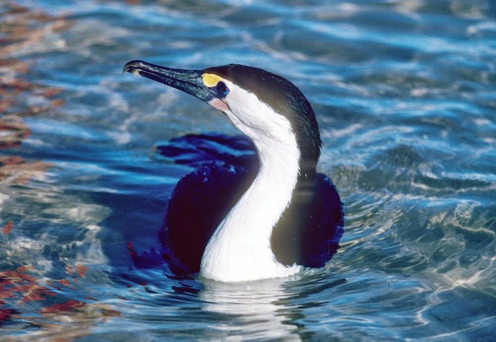 Pied Cormorant 1