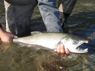 Squamish Coho Salmon
