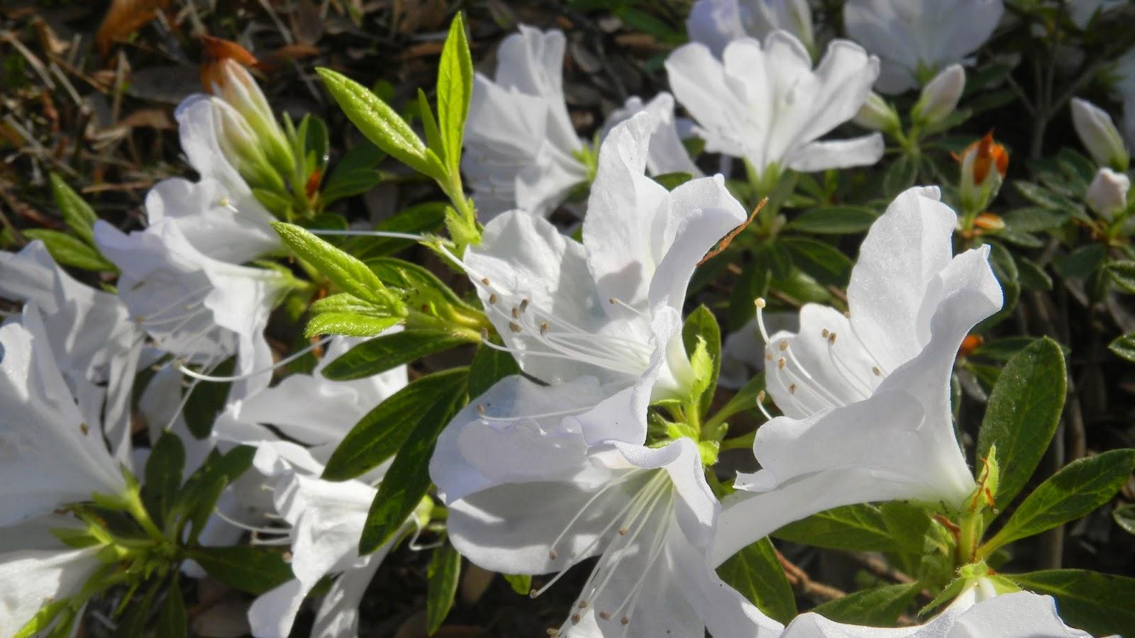 Mrs. G. G. Gerbing azalea