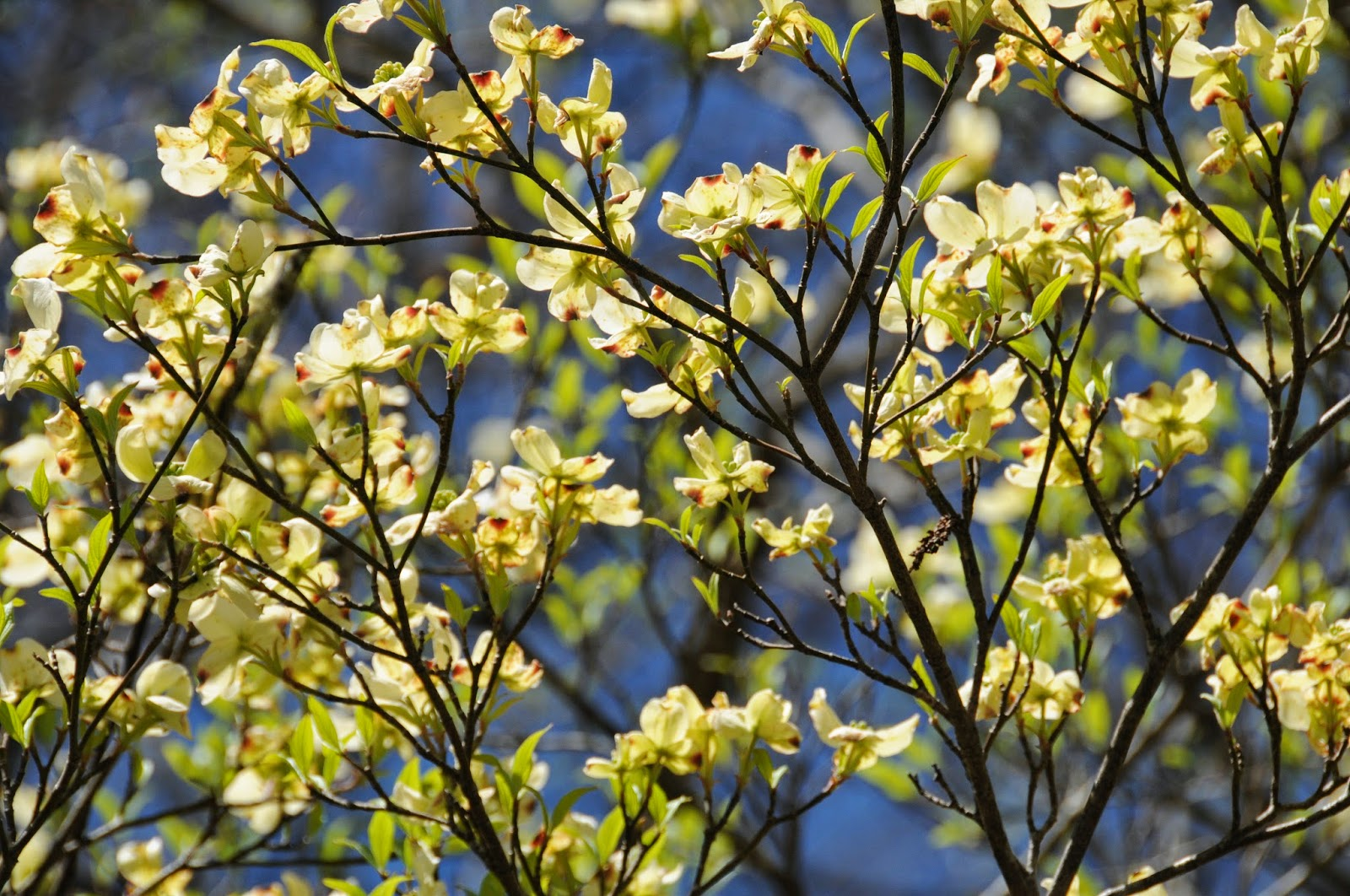 The flowering dogwood is alive with flowers and leaves opening flowering dogwood cornus florida brasstown north carolina dhlflorist Image collections