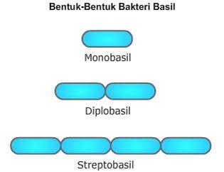 bentuk bakteri basil