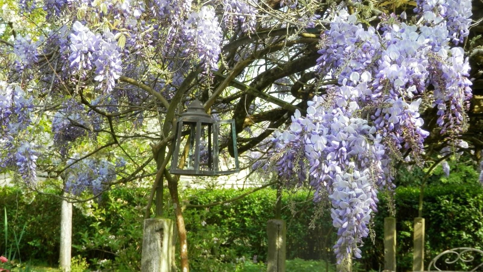 Mauve glycine aquarelle jardin - Graine de glycine ...