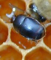 خنفساء خلايا النحل الصغرى