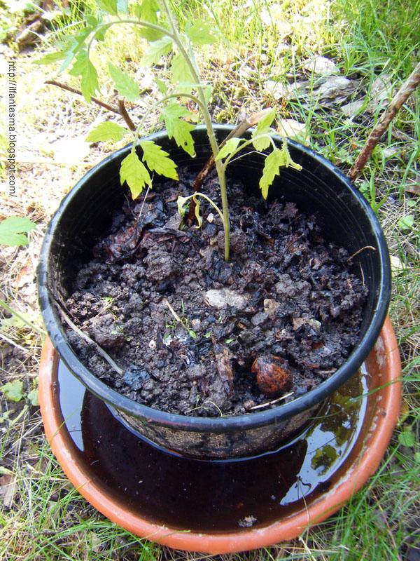 Le avventure della mia fantasia le piantine di pomodoro for Trapianto pomodori