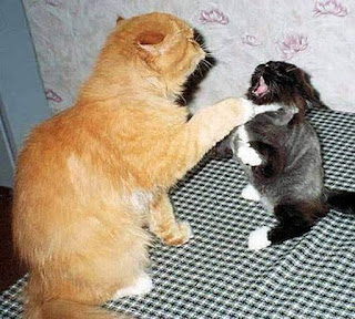 pelea de gatos catfight