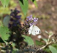 Ferida moth