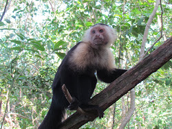 White Faced Monkey, Cahita National Park