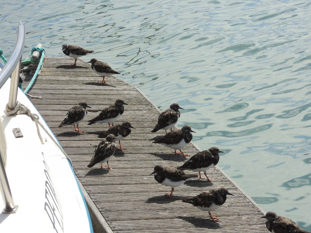 Black Turnstone birds