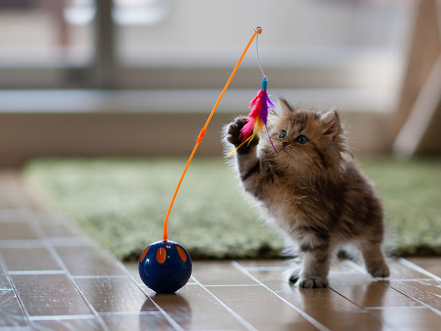 Cute Kitten playing with toy HD Wallpaper