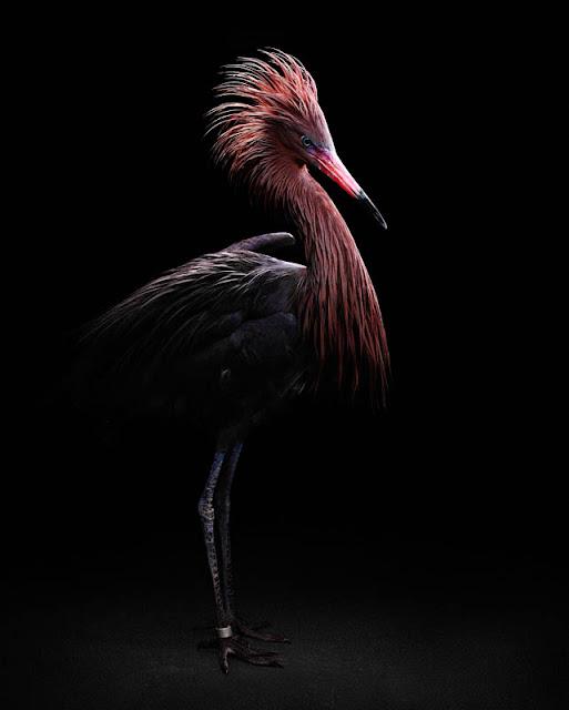 aves, supervivientes, Bob Croslin, fotografia, Grounded, Winged, Survivors, Florida, Gulf Coast, Reddish Heron, Suncoast Seabird Sanctuary