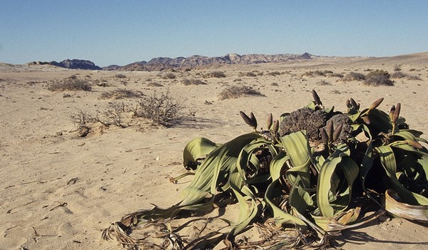Welwuitschia mirabilis, Namibia y Angola