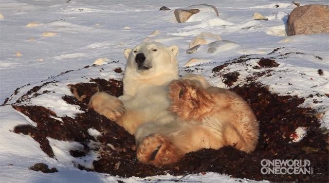 Urso polar mais preguiçoso já visto