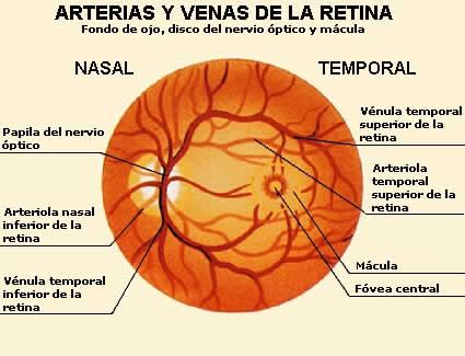 Anatomia del ojo humano macula / Resto in barcelona