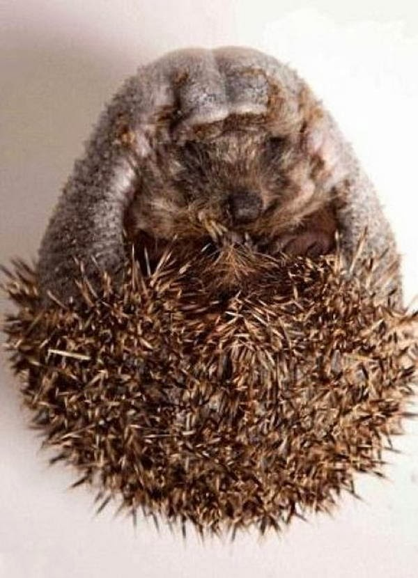 Recovery of a hedgehog (12 pics), rescuing an injured hedgehog, bald hedgehog, hedgehog losing all spikes