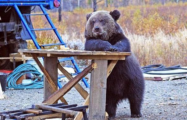 oso esperando su cerveza