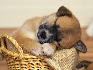 Cute Puppy HD Wallpaper