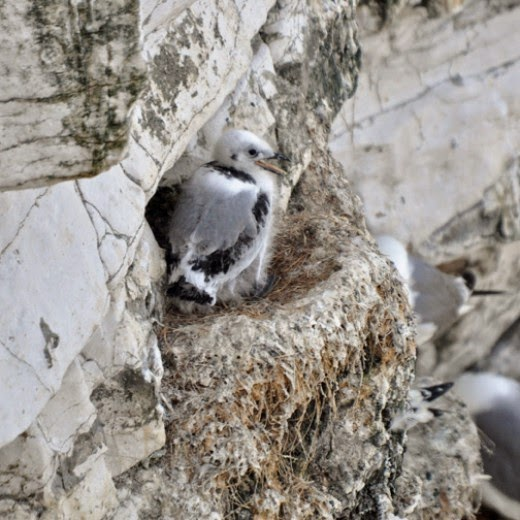 kittiwake chick on nest