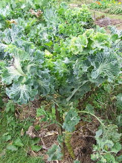 Portuguese kale about to lose a lower leaf