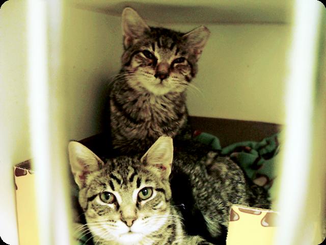 cat kitten kitty fluffy cute siblings twins tabby grey