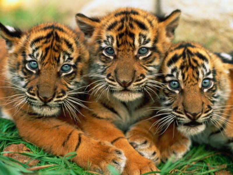 Tiger+cubs+for+sale