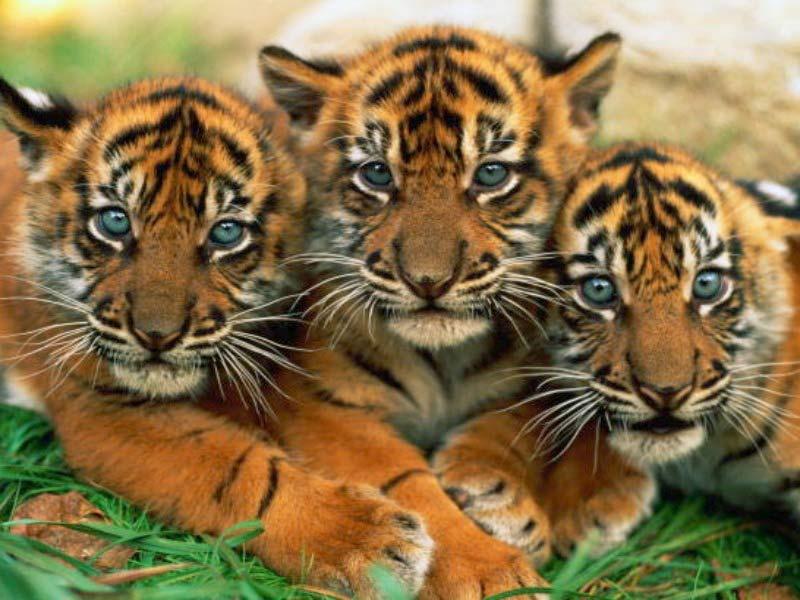 tiger 15 479x603
