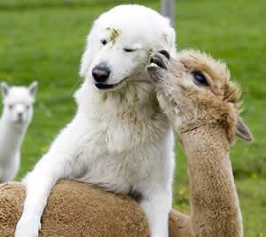 cadela e alpaca