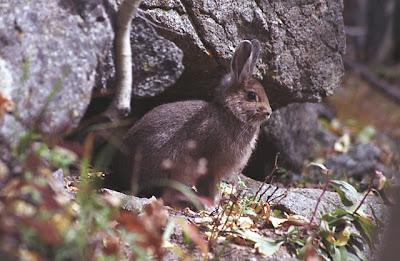 conejo de montaña Sylvilagus nuttallii