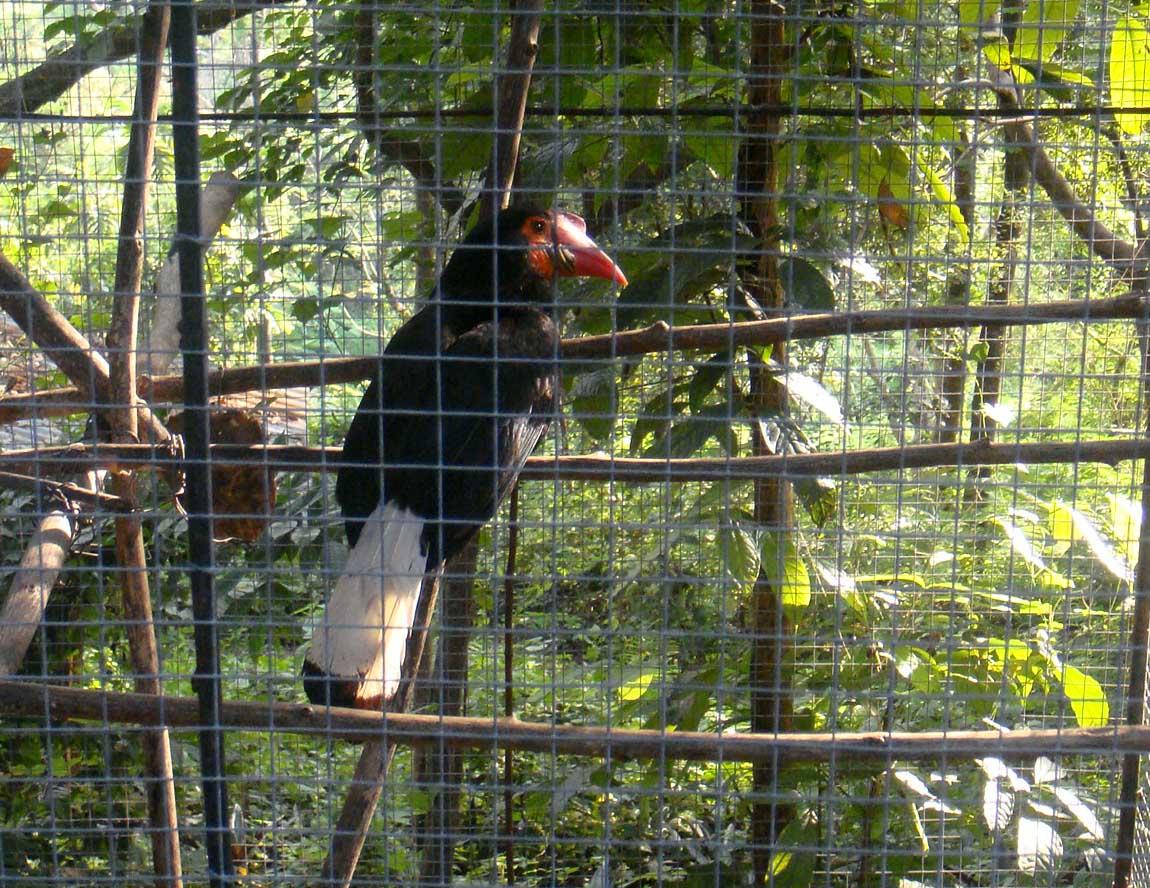 Cebu Zoo Hornbill