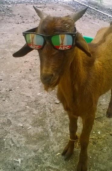 buhari goats apc