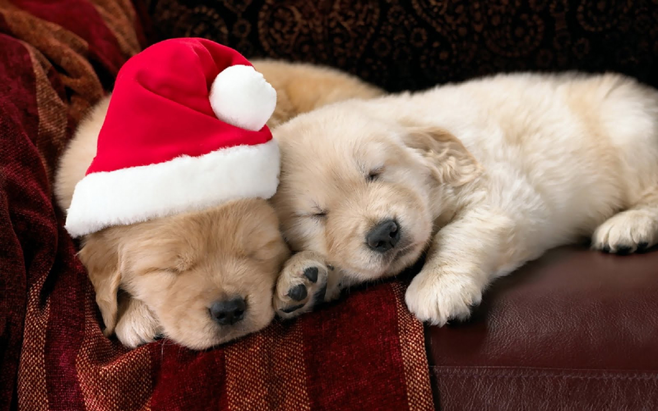 http://2.bp.blogspot.com/-YQjKaew5YXk/UMqkRZC-ENI/AAAAAAAABz0/6b4VW4Xxx7I/s1600/dogs-christmas-pets-HD-Wallpapers+06.jpeg
