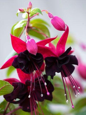 زهرة الفوشيا