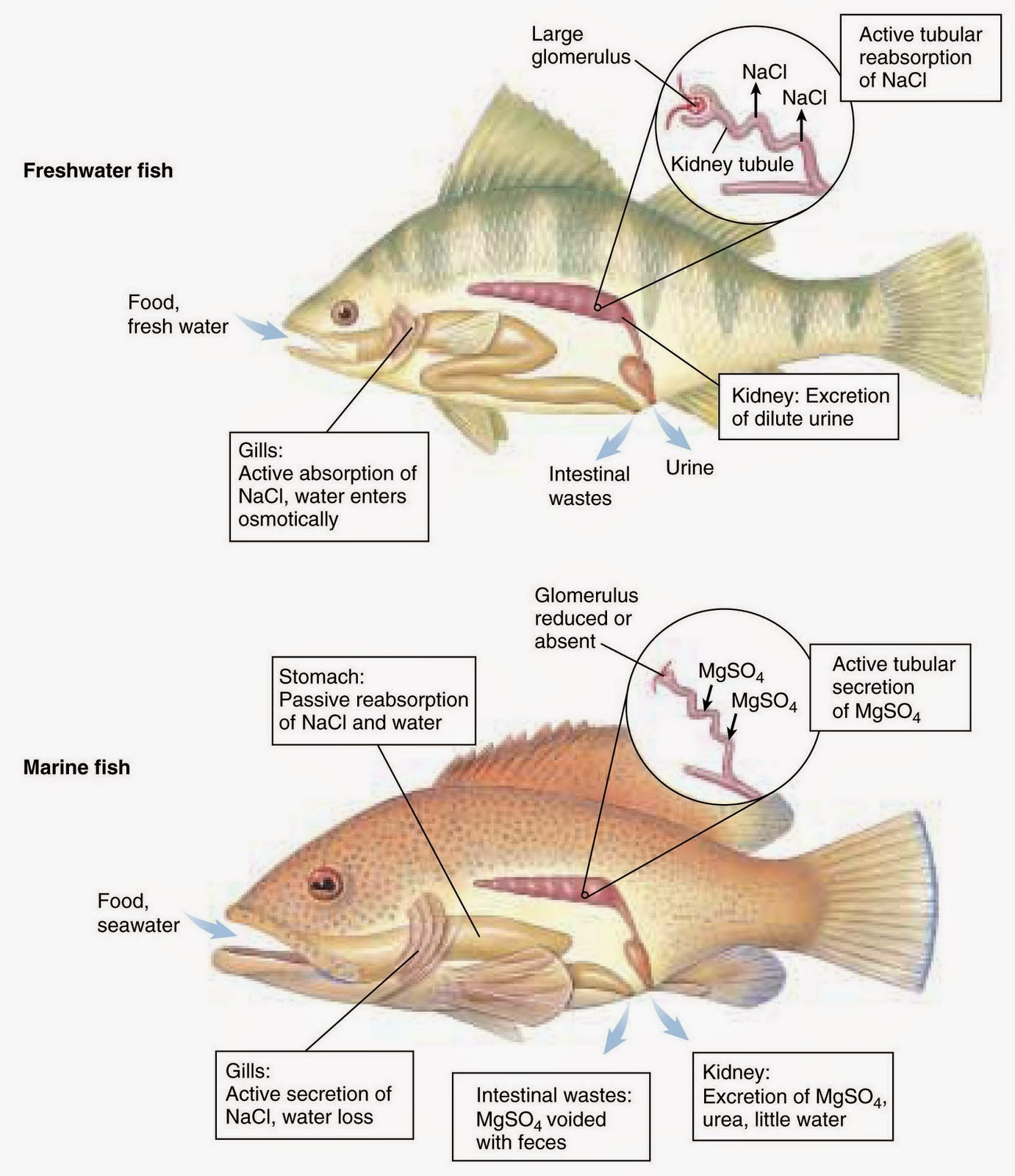 Freshwater fish kidney dilute urine - Osmoregulation In Freshwater Fish And Marine Fish