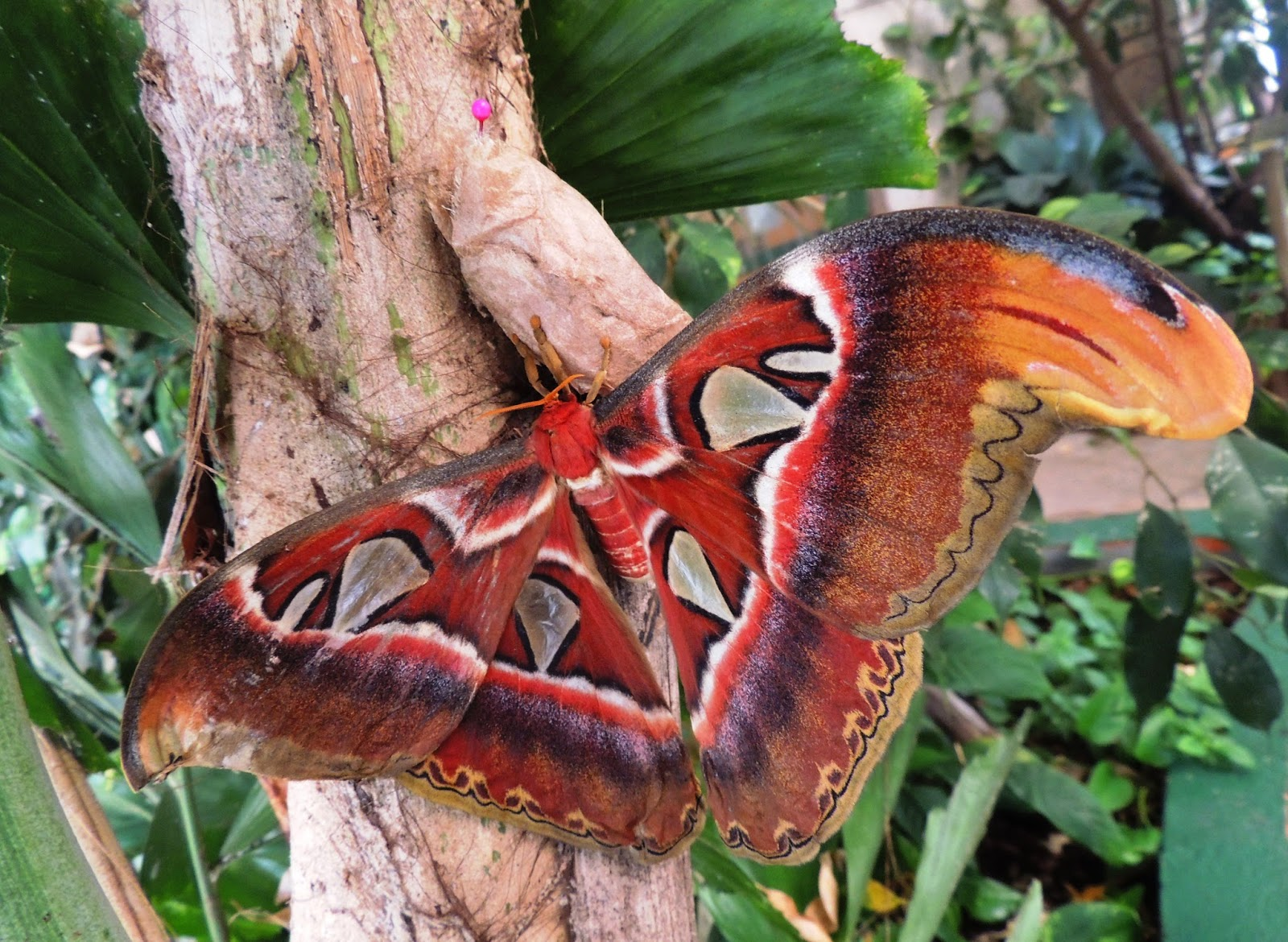 Attacus atlas, anverso