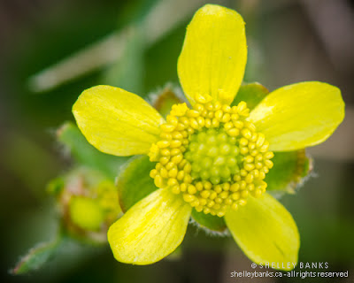 Prairie Buttercup flower. Photo © Shelley Banks, all rights reserved.