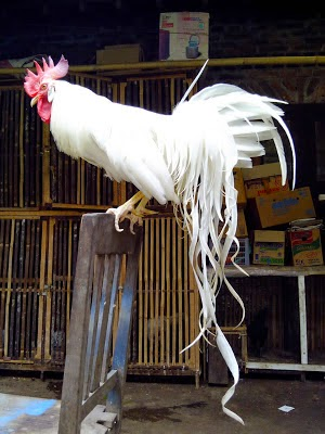 Mengenal jenis ayam onagadori yang memiliki ekor panjang
