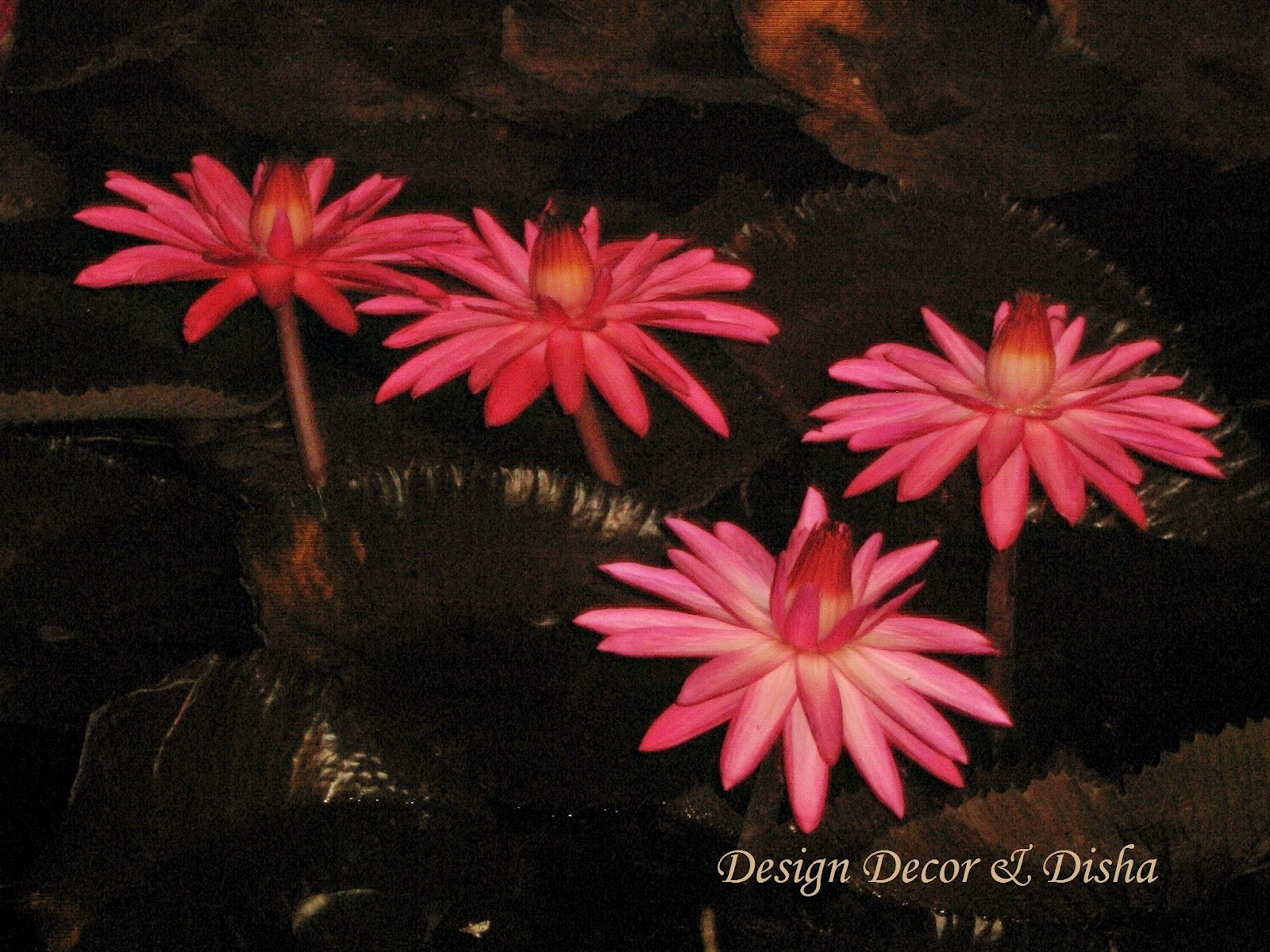 Design decor disha an indian design decor blog lotus the i found that place very special it was full of lotus flowers and buds many other fun things too izmirmasajfo