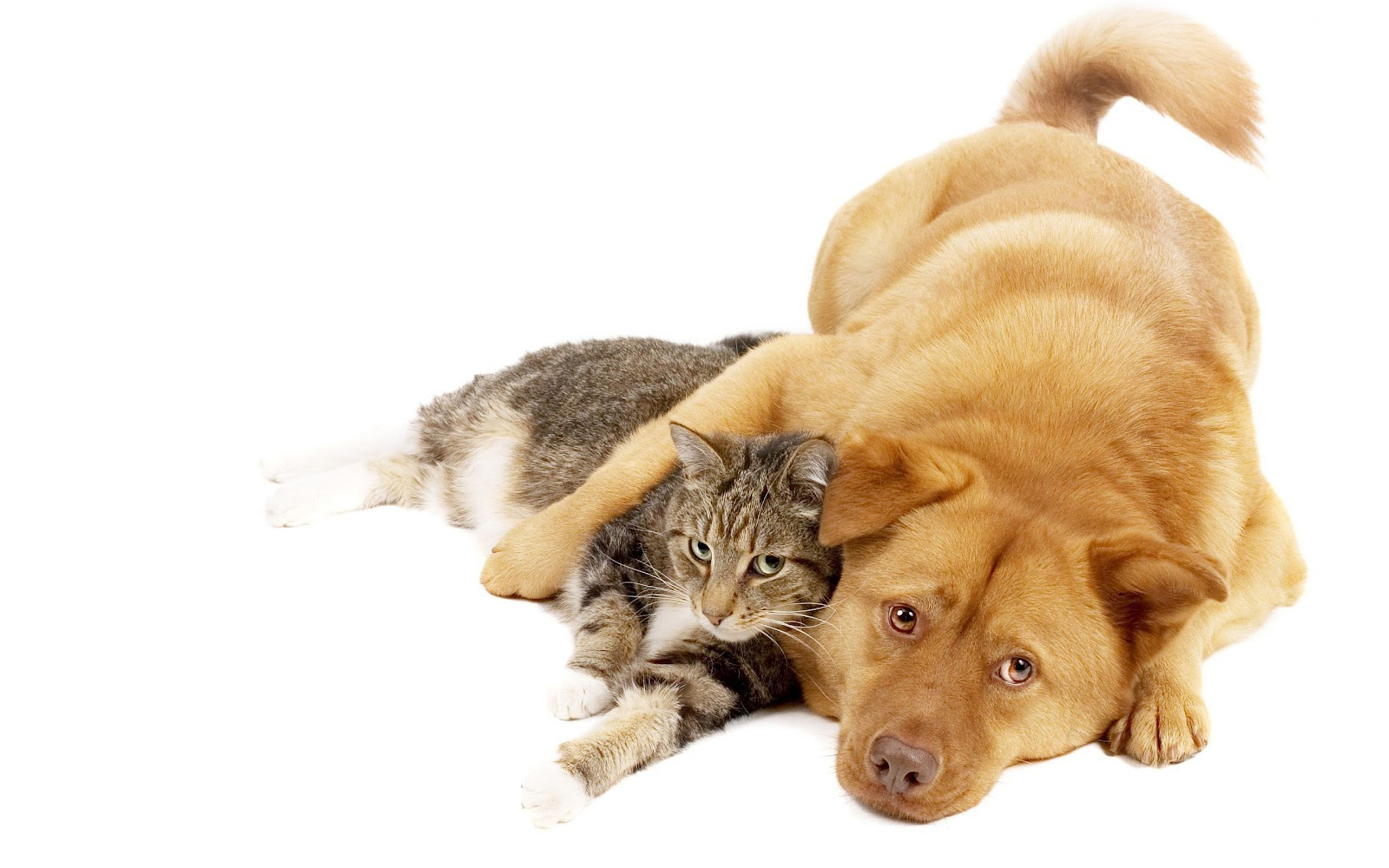 cat and dogs Dogs and cats online 1 already have a dog or cat registered with council  when your renewal arrives this month, click the renew registration button  below.