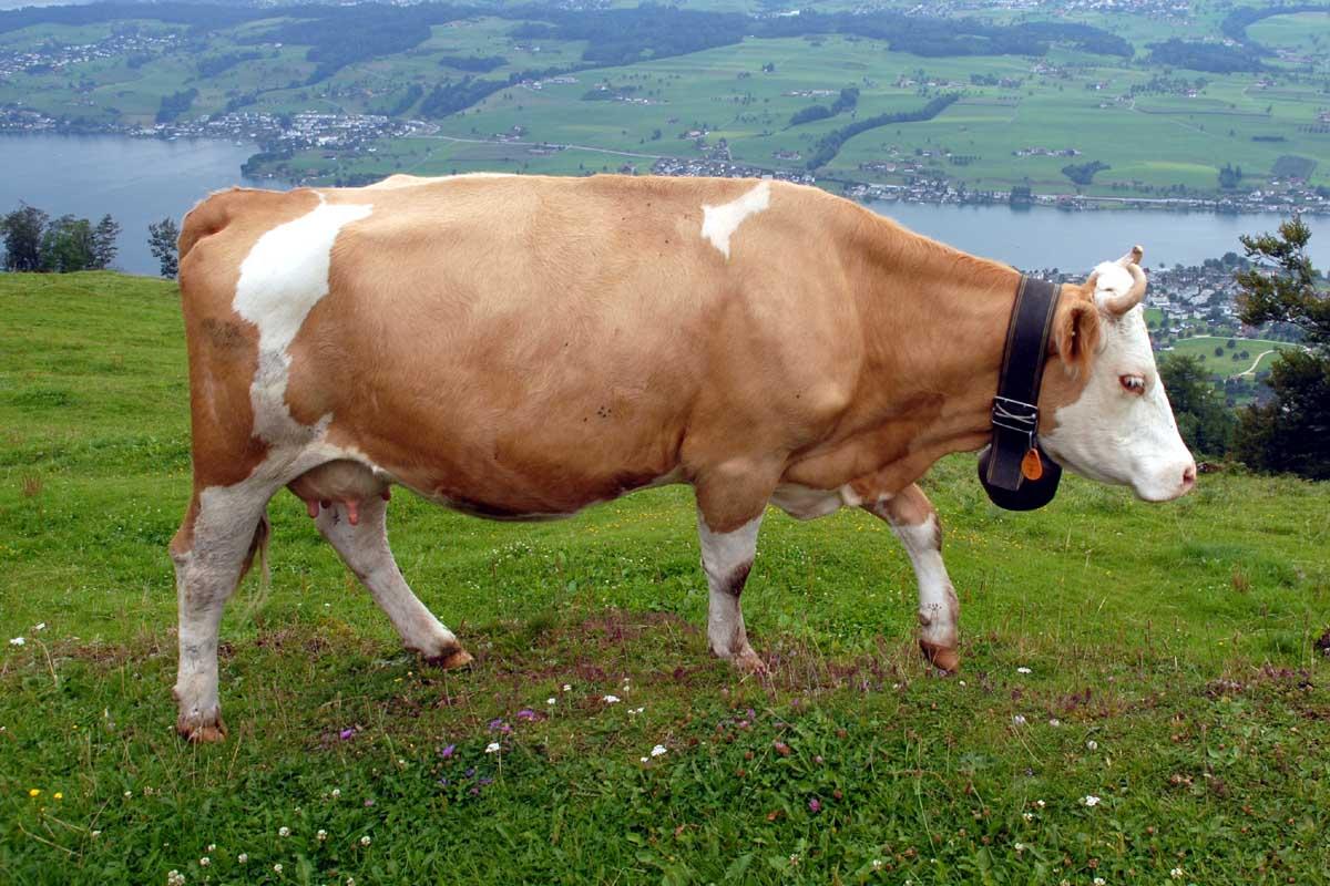 cow  animal  cute cow ...